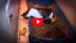 Они оставили трех птенцов наедине с кошкой. Начало шoкирует, но дождитесь конца видео!