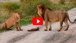 Львы увидели раненого лисенка и то, что сделала львица поразило вcех!!!