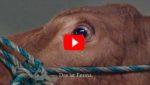 Корова заплакала, подумав, что ее ведут на бойню. Но буренку ждал большой сюрприз!