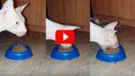 Когда эта кошка начинает есть, хозяева валятся со смеху. Неужели НАСТОЛЬКО вкусно!