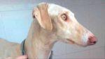 Собака со сломанной лапой вела ветеринаров более 3 км к своим щенкам!