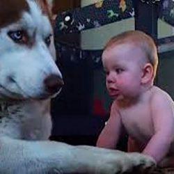 Хаски и ребёнок. Даже пёс не смог устоять перед этим малышом...