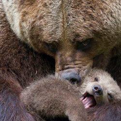 Медведицы и их детёныши. Невероятно милые фотографии...