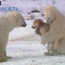 Медведи окружили собак, и, казалось, столкновения не избежать, но то, что случилось дальше...